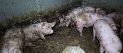 Schweine, verdreckt im Stall
