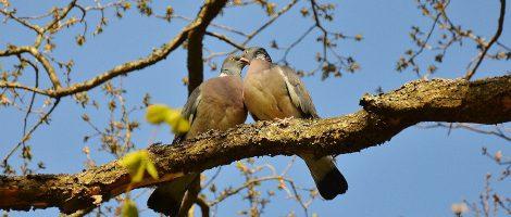 2 Tauben kuscheln auf einem Ast