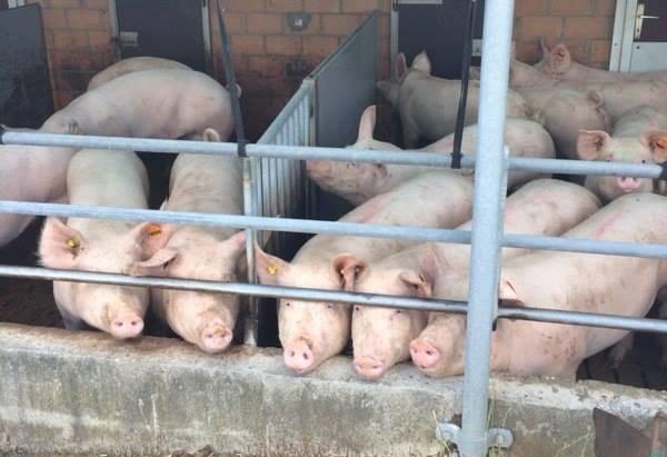 eingesperrte Schweine